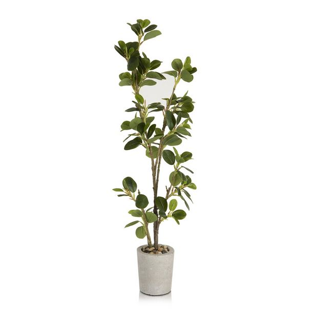 Ficus In Cement Pot offer at R 399