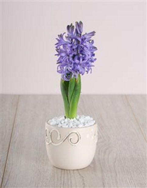 Blue Hyacinth in Cream Ceramic offers at R 130