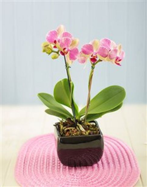 Mini Orchid in a Glazed Vase offers at R 481