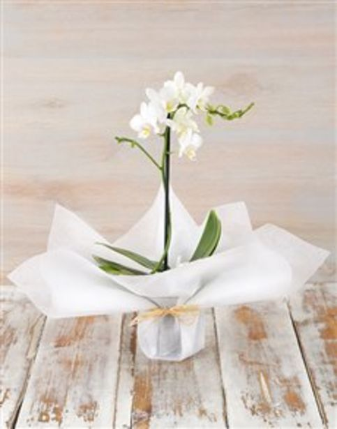 Tranquil Mini Phalaenopsis Orchid offers at R 481