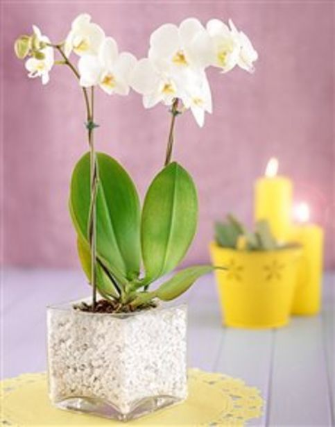 Mini White Orchid in Stone Filled Vase offers at R 520