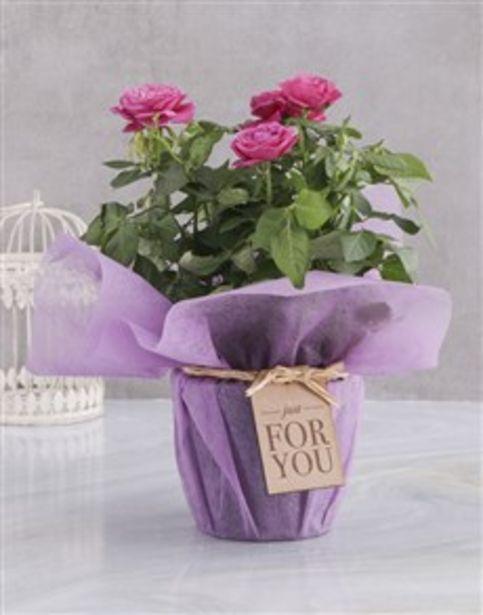 Cerise Rose Bush In Purple Wrap offers at R 312
