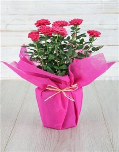 Cerise Rose Bush in Wrapping offers at R 312