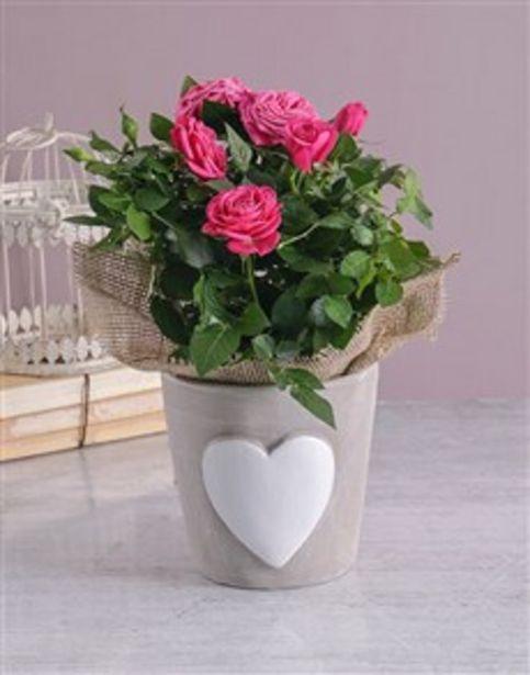 Heartfelt Rose Bush offers at R 377