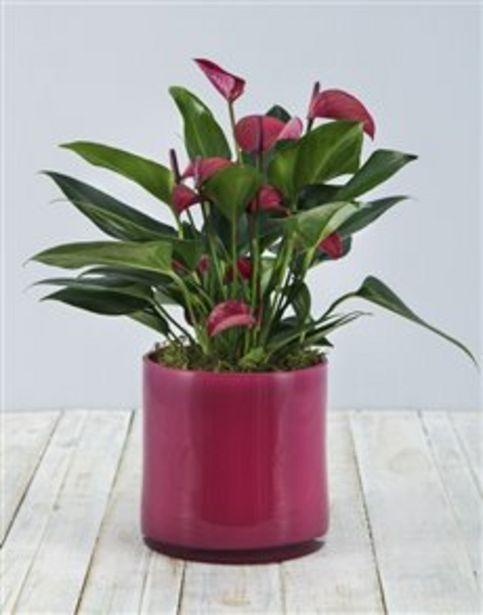 Anthurium in Pink Cylinder Vase offers at R 741