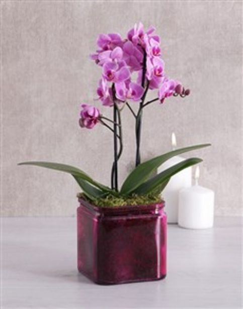 Mini Phalaenopsis Orchid in a Pink Vase offers at R 546